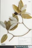 Image of Magnolia virginiana