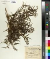 Image of Lepidaploa balansae