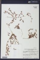 Euphorbia cordifolia image