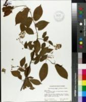 Image of Tripterygium wilfordii