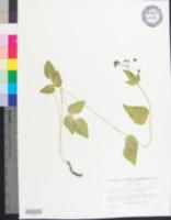 Thaspium trifoliatum var. trifoliatum image