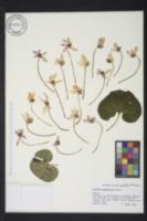 Image of Cyclamen purpurascens