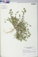 Kummerowia striata image
