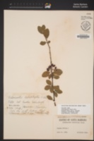 Image of Cotoneaster hebephyllus