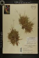 Dichanthelium strigosum var. glabrescens image