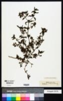Eclipta prostrata image