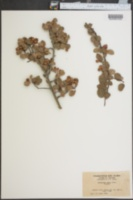 Image of Amelanchier nitens