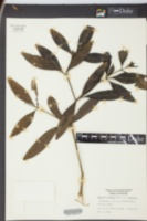 Baptisia elliptica image