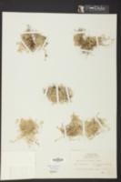 Selaginella eatonii image