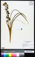 Ornithogalum nutans image
