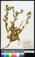 Image of Grindelia adenodonta