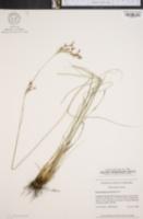 Image of Rhynchospora torreyana