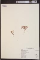 Diamorpha smallii image