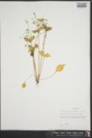 Image of Montia sibirica
