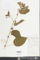 Image of Triumfetta annua
