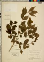 Image of Cipadessa baccifera