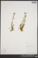 Erigeron uniflorus var. eriocephalus image