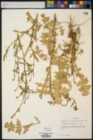 Sisymbrium officinale image