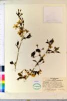 Prunus apetala image