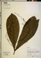 Endlicheria verticillata image