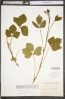 Rubus huttonii image