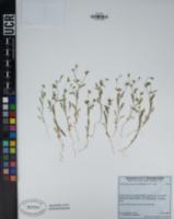 Allophyllum integrifolium image