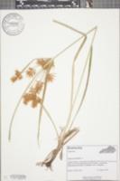 Cyperus esculentus image