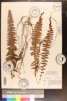 Nephrolepis undulata image