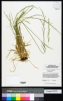 Sphenopholis intermedia image