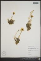 Papaver walpolei image
