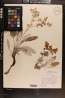 Eriogonum correllii image