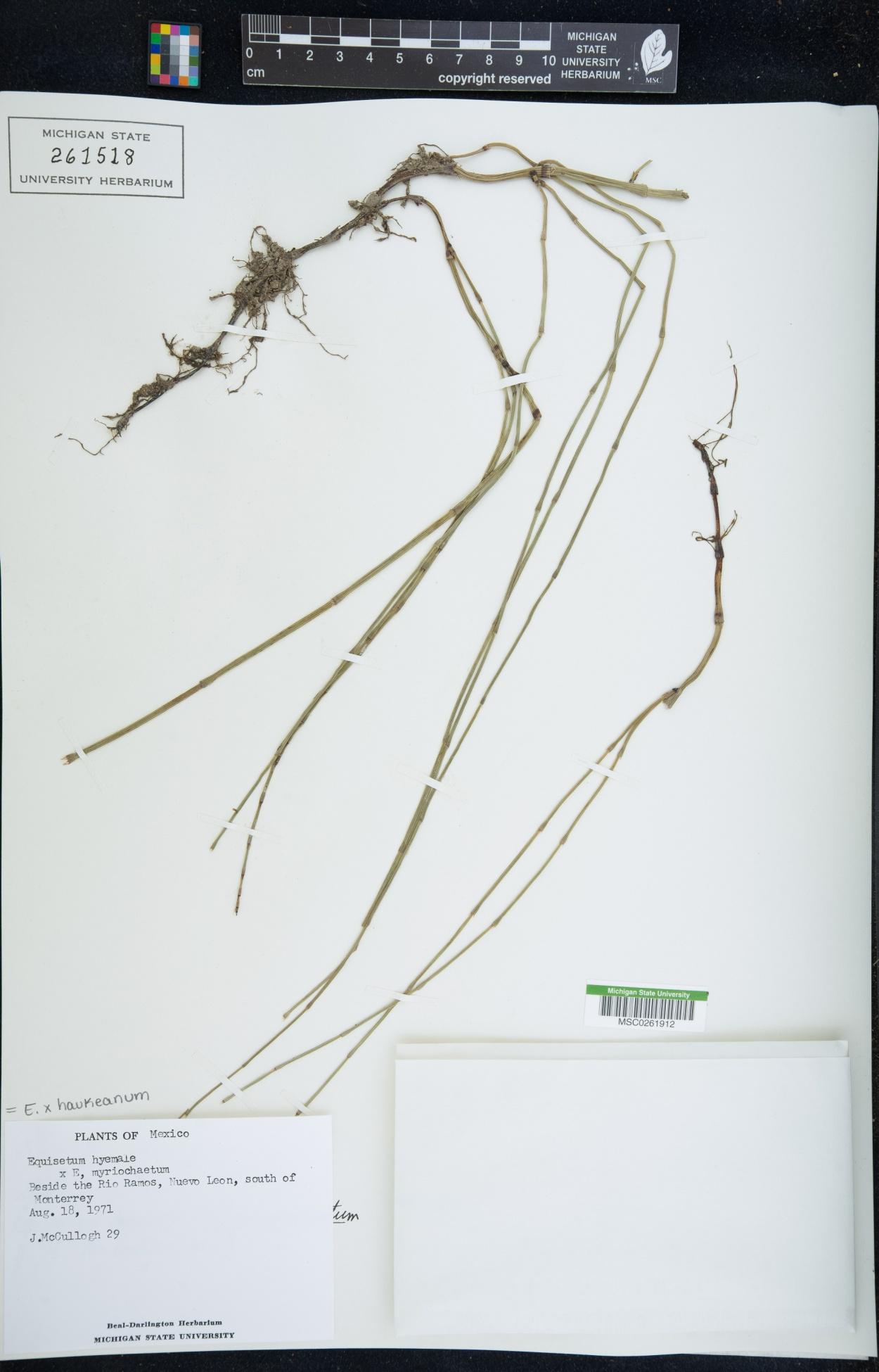 Equisetum x haukeanum image