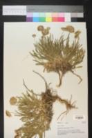 Gaillardia multiceps image