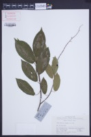 Image of Prunus obtusata