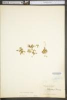 Viola bicolor image