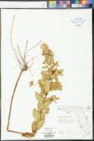 Liatris spicata image