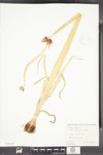 Allium cepa var. viviparum image