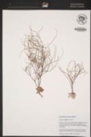 Image of Eriogonum covilleanum