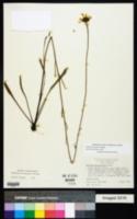 Image of Balduina atropurpurea