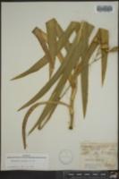 Belamcanda chinensis image