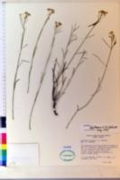 Asclepias leptopus image
