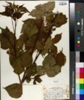 Image of Rubus michiganensis