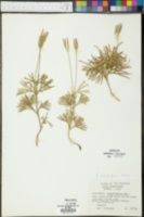 Diphasiastrum complanatum image