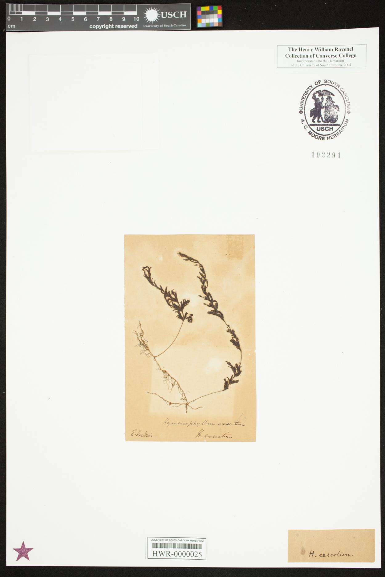Hymenophyllum exsertum image
