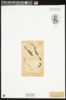 Image of Hymenophyllum exsertum