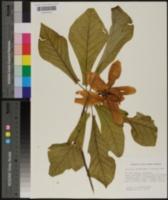 Magnolia pyramidata image