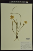 Image of Narcissus triandrus