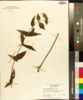 Pycnanthemum montanum image