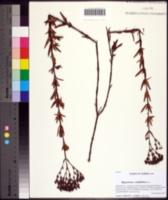 Image of Hypericum cistifolium