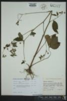 Sanicula canadensis image